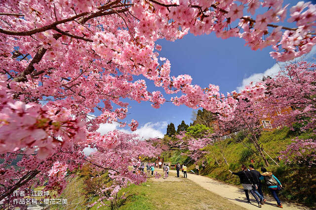 2020 cherry blossom season